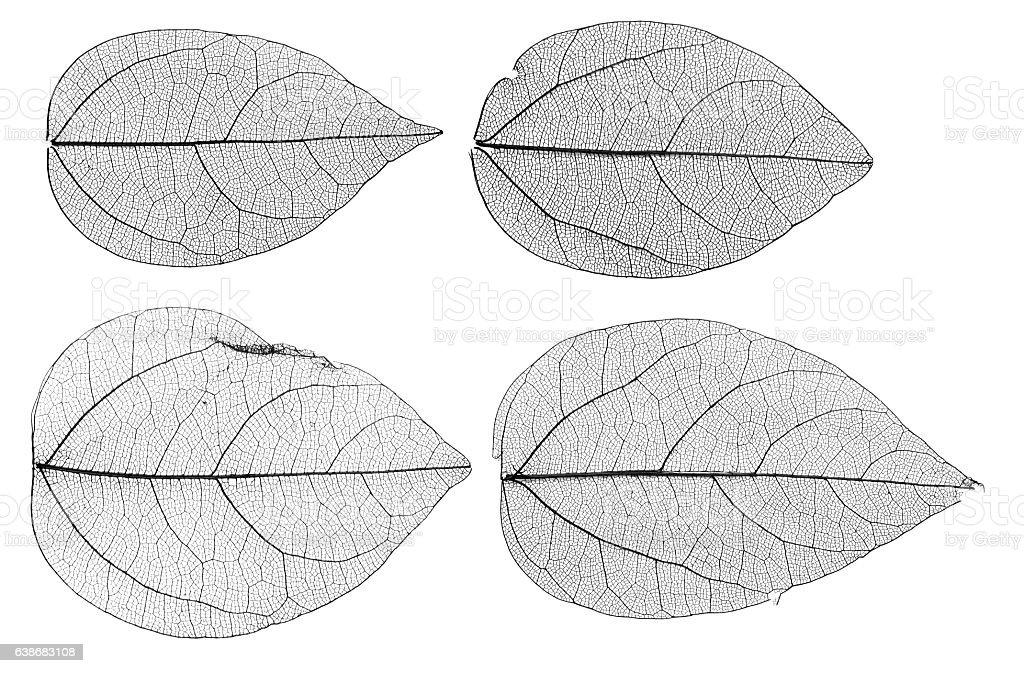 leaves skeletons isolated on white background stock photo