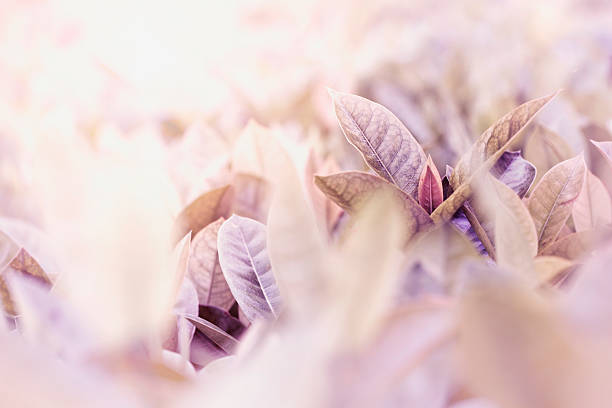 leaves, soft purple color toned background. - pauwenkers stockfoto's en -beelden