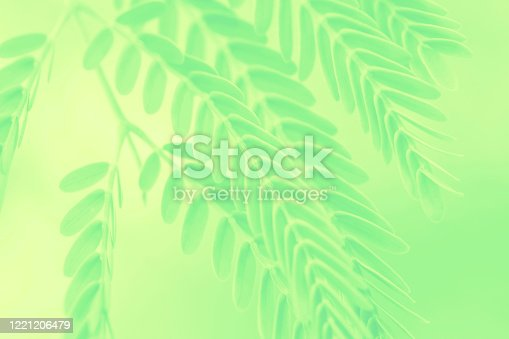 leaves Spring Yellow Mint Green Fluorescent Acacia Tree Foliate Pattern Morning's Freshness Leaf Texture Background Soft Focus Copy Space Macro Photography Close-Up