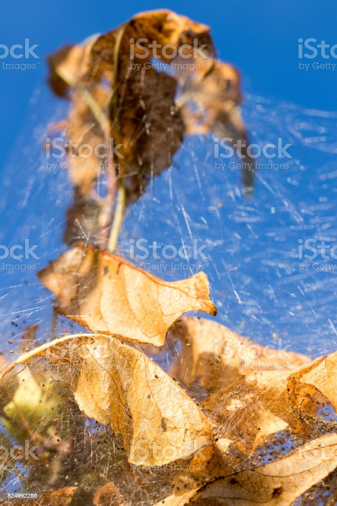 leaves turned golden within a caterpillar tent stock photo