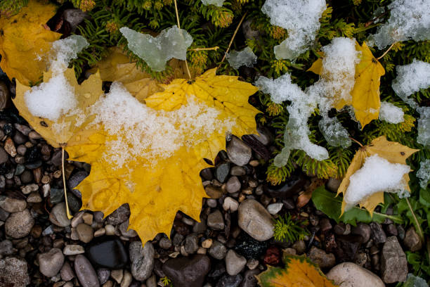 Leaves under snow in early winter stock photo