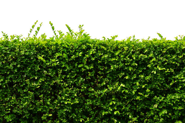 leaves wall, natural fence isolated on white background - bush stock pictures, royalty-free photos & images