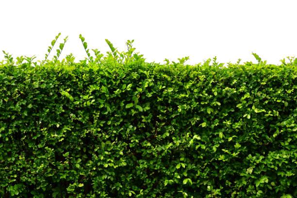 lämnar vägg, naturliga staket isolerad på vit bakgrund - buske bildbanksfoton och bilder