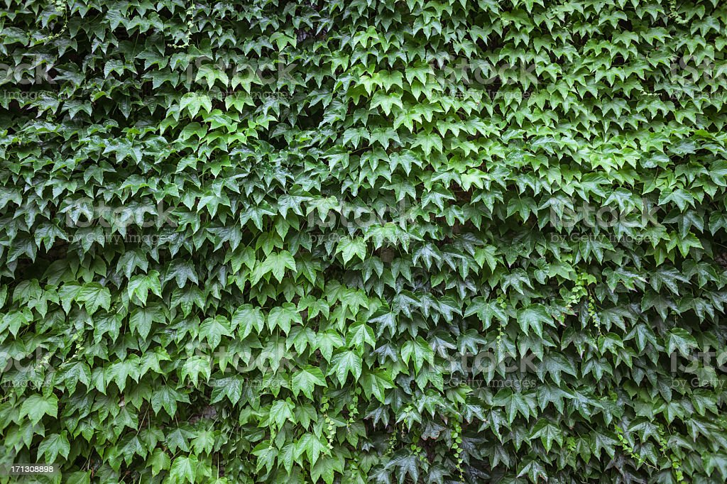 Leaves Wall royalty-free stock photo