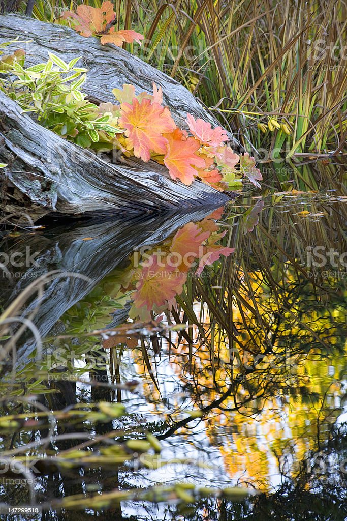 Leaves Water Reflections Fall Colors Van Dusen Gardens royalty-free stock photo