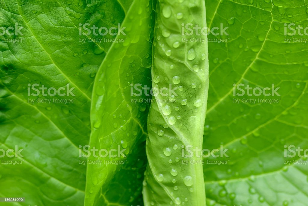 Leaves wet salad stock photo