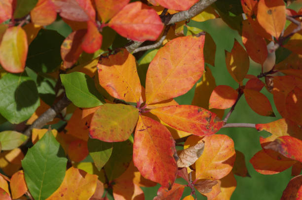 Leaves with autumn colouring stock photo