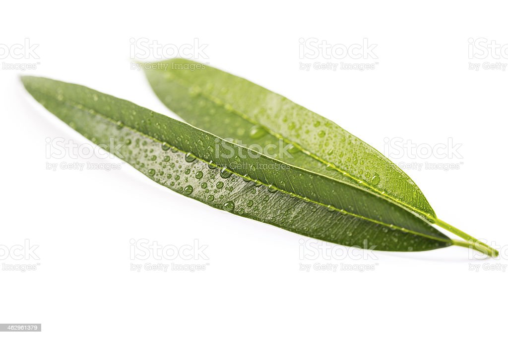 leaves with droplets royalty-free stock photo