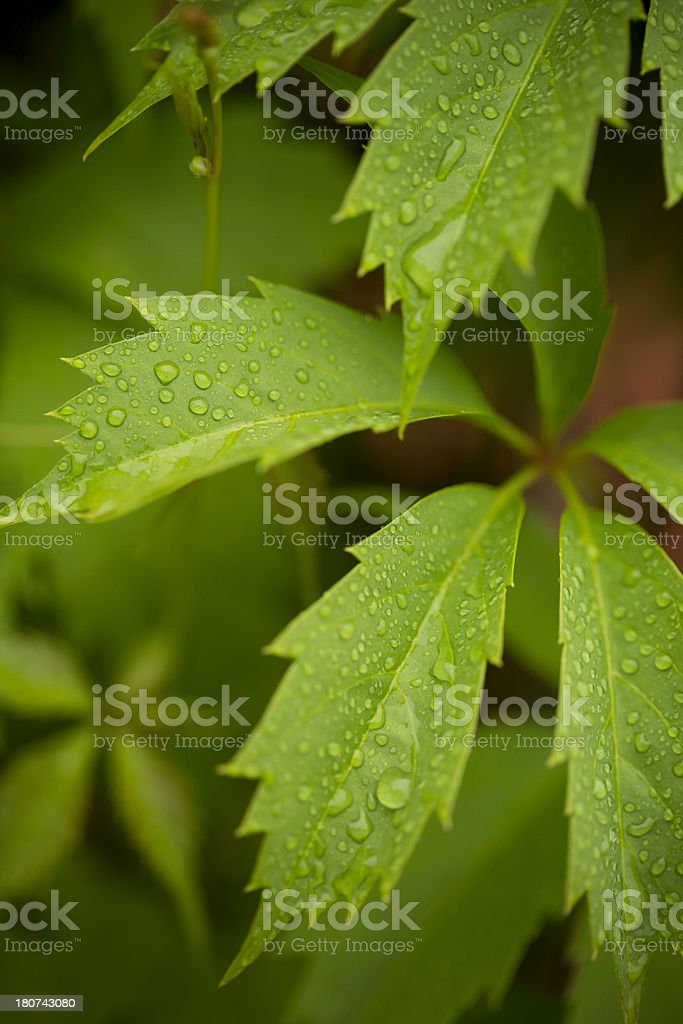 leaves with drops royalty-free stock photo