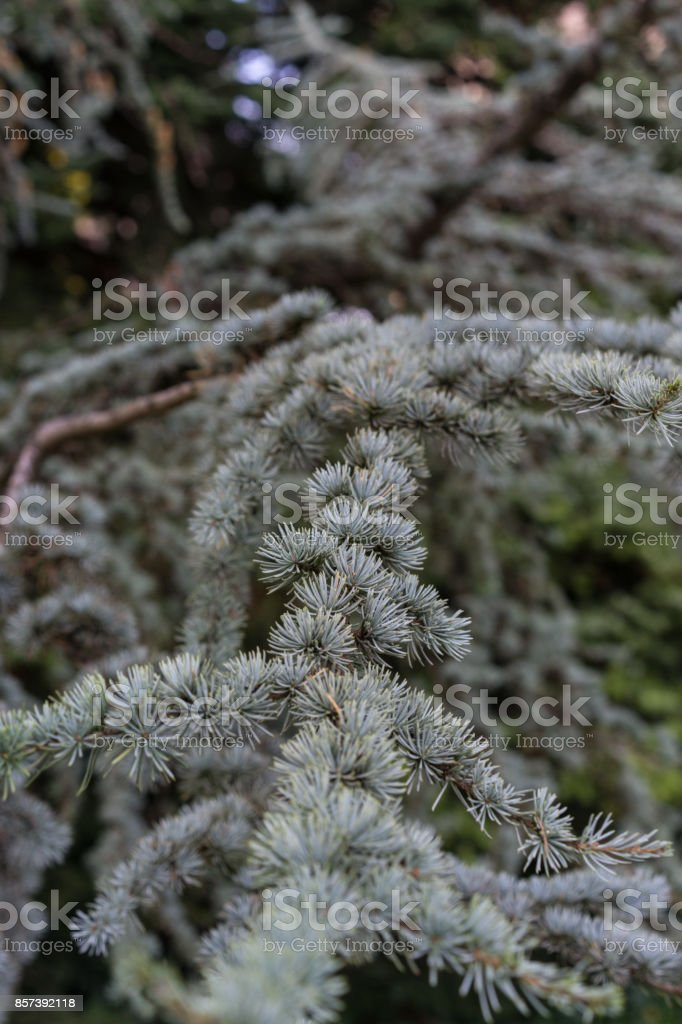 leaves with needle from cedrus atlantica atlas cedar from mountain stock photo