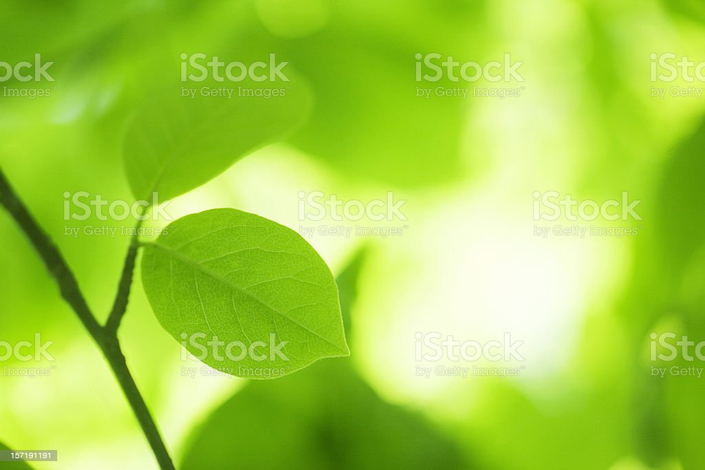 Leaves with sunlight royalty-free stock photo