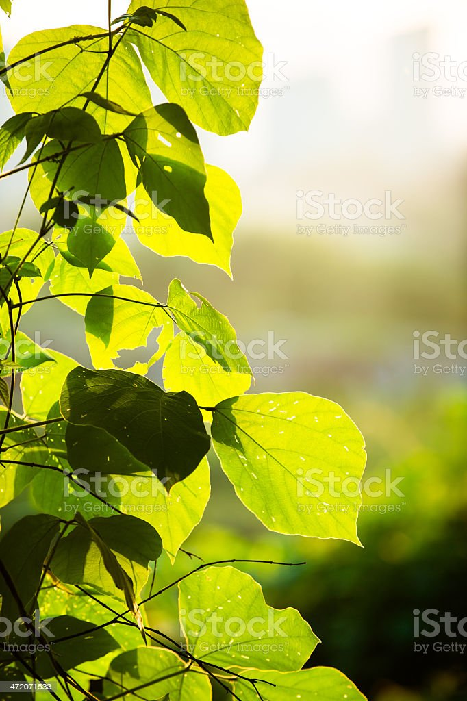 Leaves with Sunlight stock photo
