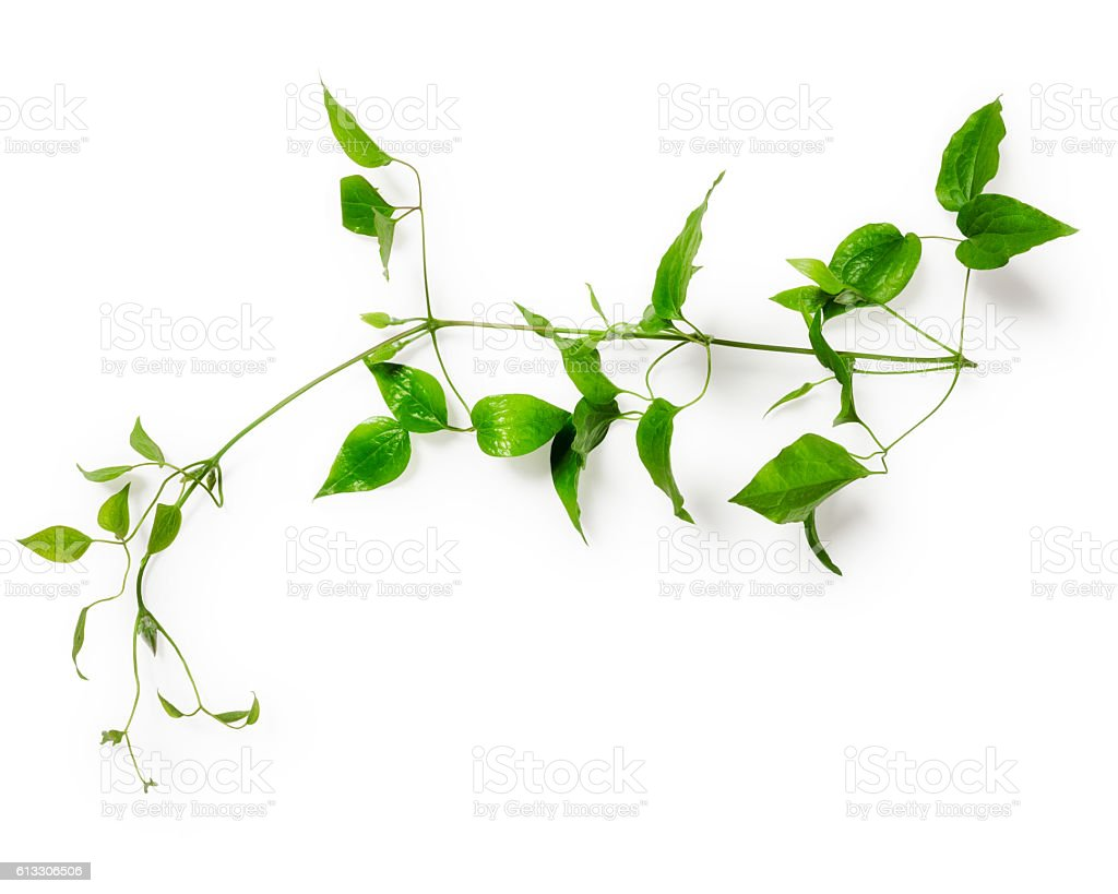 Leaves with tendril stock photo