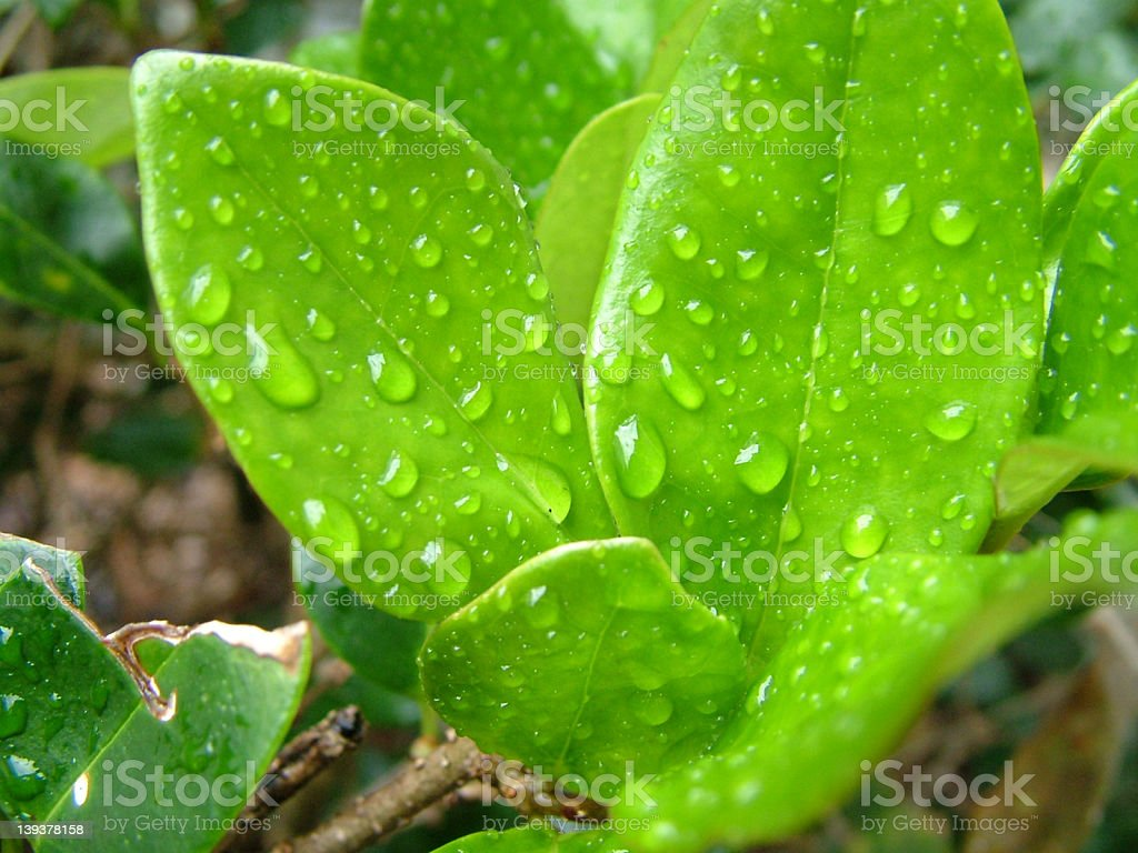 Leaves with Water Droplets stock photo