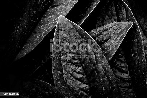 637513166istockphoto Leaves with water drops, Black and white. 843044334