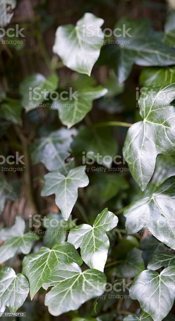 Leaves XXL royalty-free stock photo