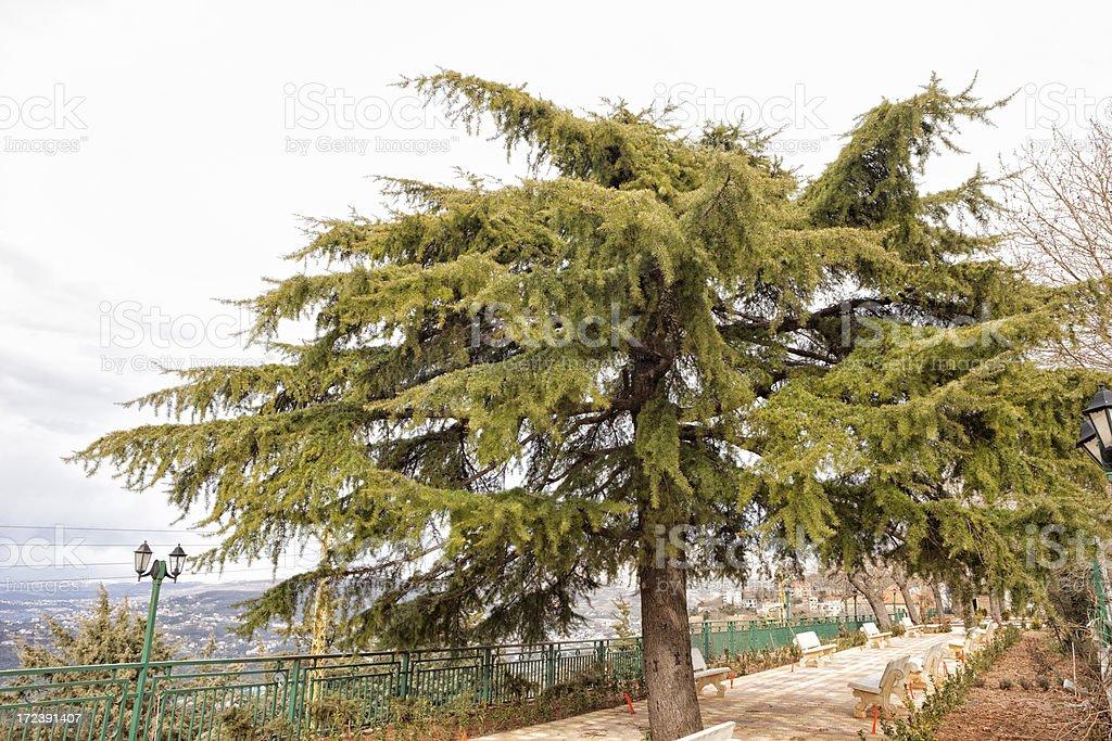 Lebanese Cedar Tree, Beirut, Lebanon royalty-free stock photo