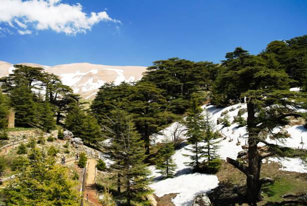 cèdres libanais à la montagne d'ar-rabb arz aka cèdres de dieu dans la vallée de kadisha, liban - liban photos et images de collection
