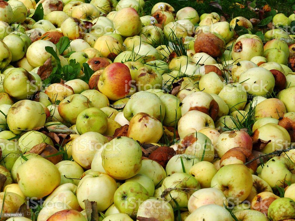 Lebensmittel Überproduktion, Äpfel vergammeln auf dem Müll stock photo