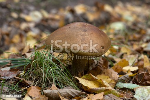 Close-up view of a Leccinum mushroom in a forest from the ground level.