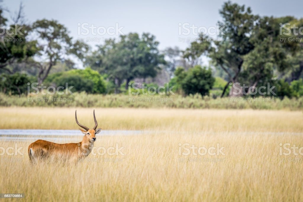 Lechwe starring at the camera. stock photo
