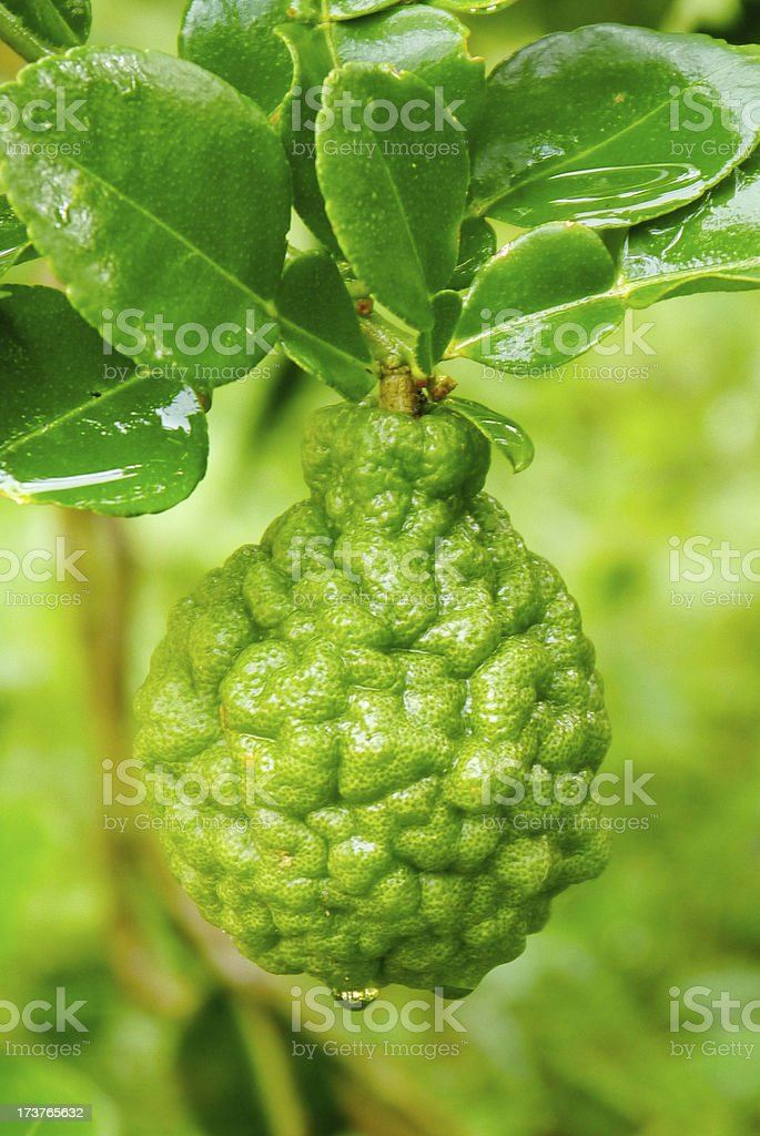 leech lime fruits hanging on its tree stock photo