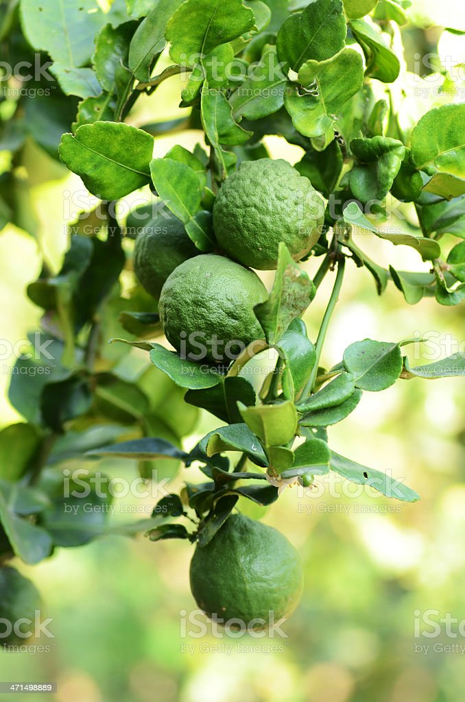 Leech lime or Bergamot stock photo