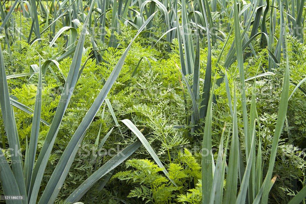 Leek and carrots plants royalty-free stock photo