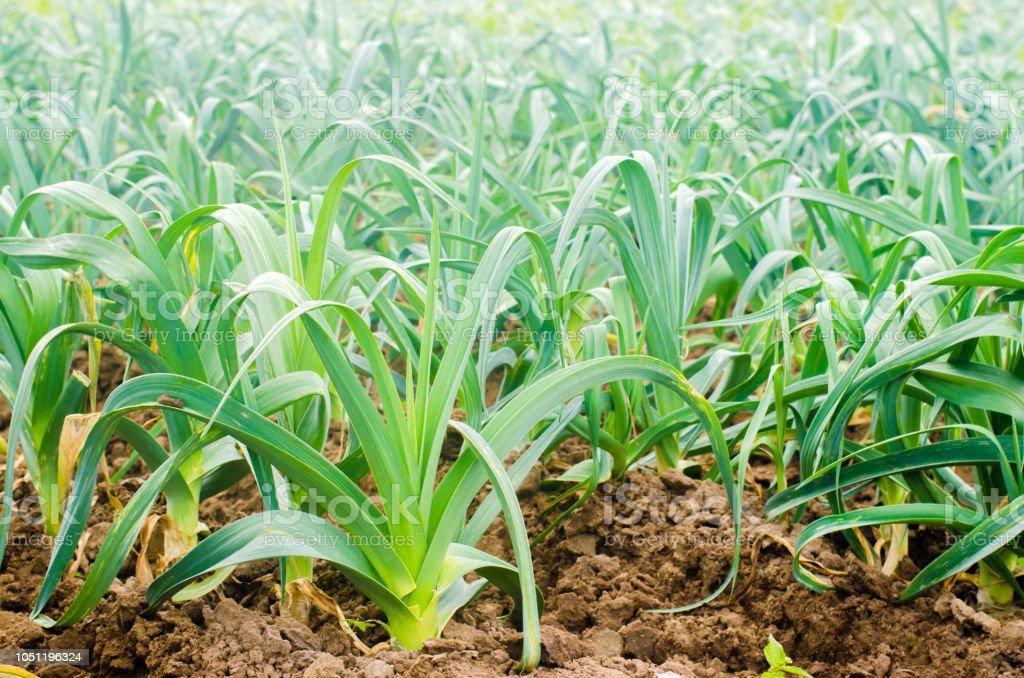 Leek Growing In The Field Agriculture Vegetables Organic