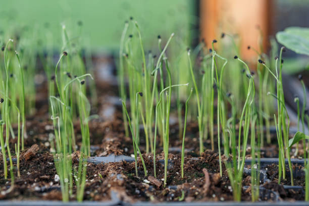 Leeks - Vegetable Starts, indoors, planted seeds sprouting stock photo