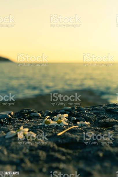 Left behind and steppedon flowers on cobblestone near sea picture id916866628?b=1&k=6&m=916866628&s=612x612&h=me5b7rhqp1xk ufmfrzgiyeavwd2pjmux7lvfjg5qjq=