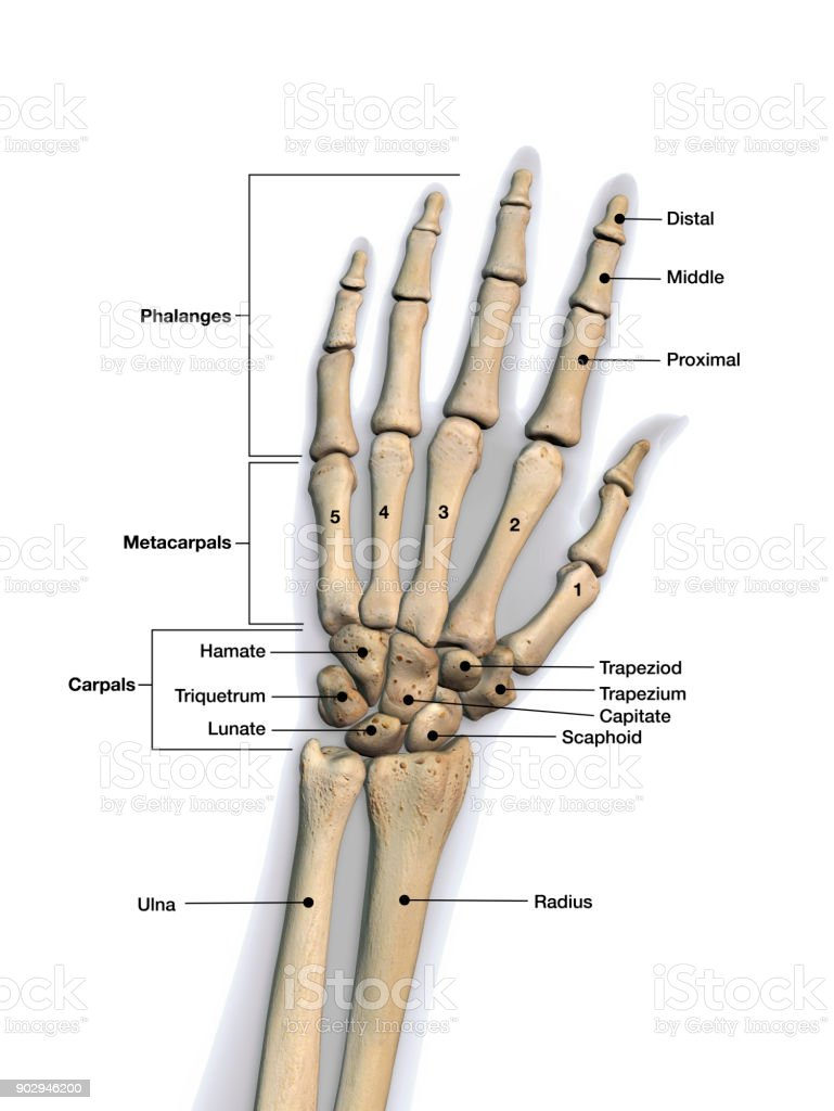 Left Hand And Wrist Bones Labeled On White Background Stock Photo