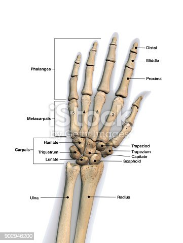 Linke Hand Und Handgelenk Knochen Beschriftet Auf Weißem Hintergrund ...