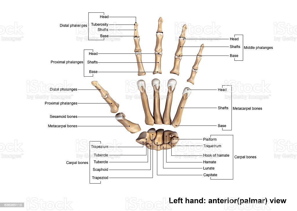 Left Hand Anterior Scattered View Stock Photo & More Pictures of ...