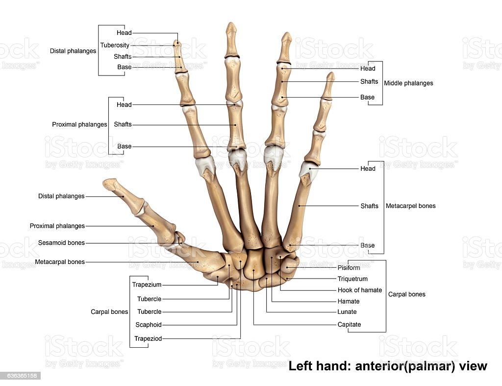 Left Hand Anterior View Stock Photo & More Pictures of Anatomy | iStock