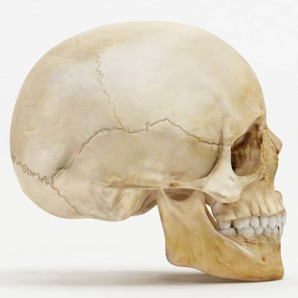 Left or Right view of human skull - 3D Render Left or Right view of human skull - 3D Render human skull stock pictures, royalty-free photos & images