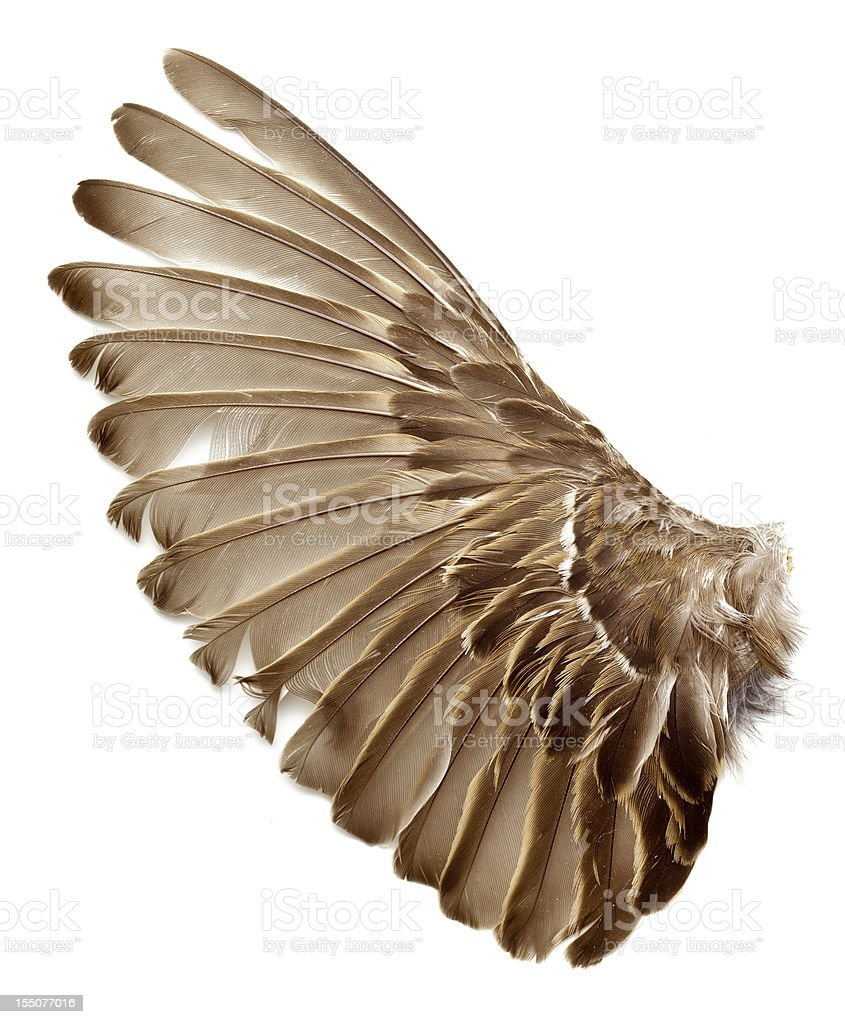left wing of a sparrow bird stock photo