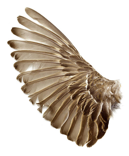 left wing of a sparrow bird stock photo