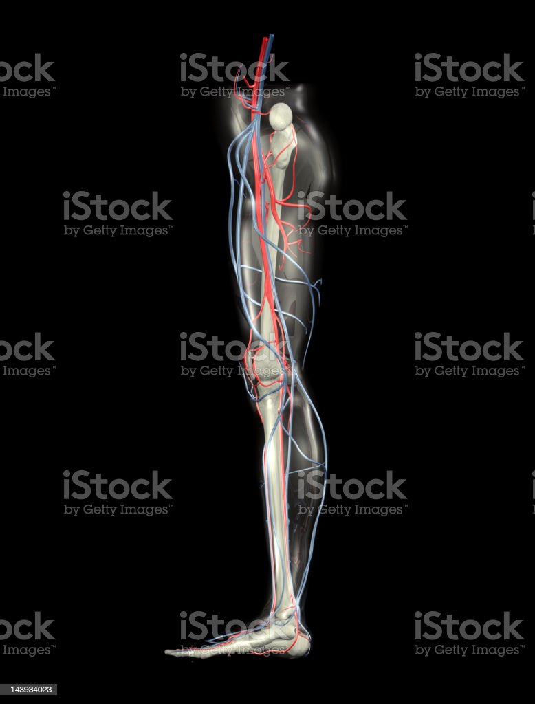 Leg Bones, Arteries and Veins (XXL) royalty-free stock photo