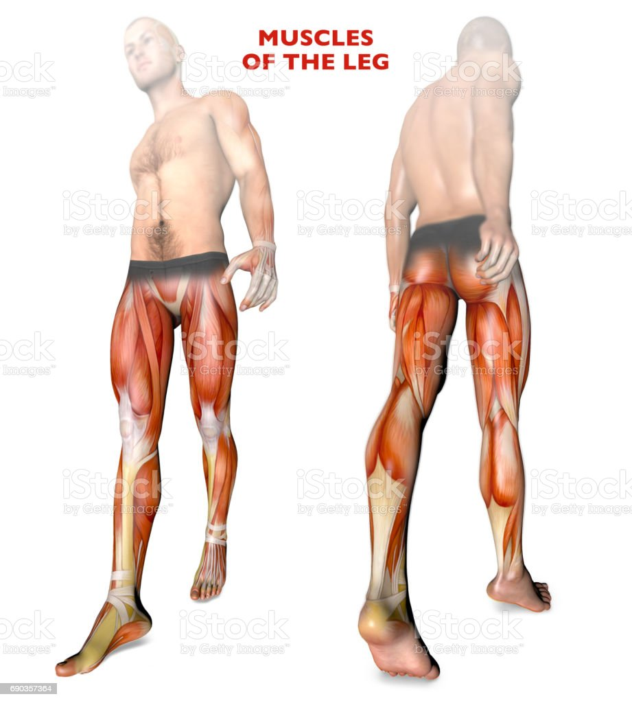 Leg muscles, human body, anatomy, muscle system stock photo