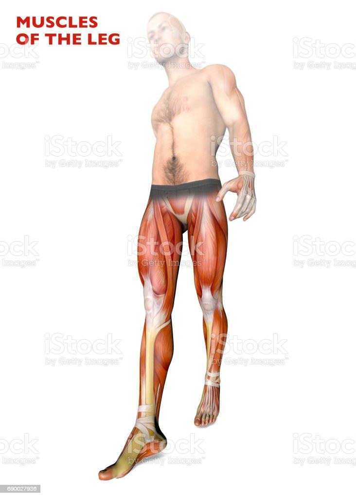 Leg Muscles Human Body Anatomy Muscular System Anatomy Person Stock