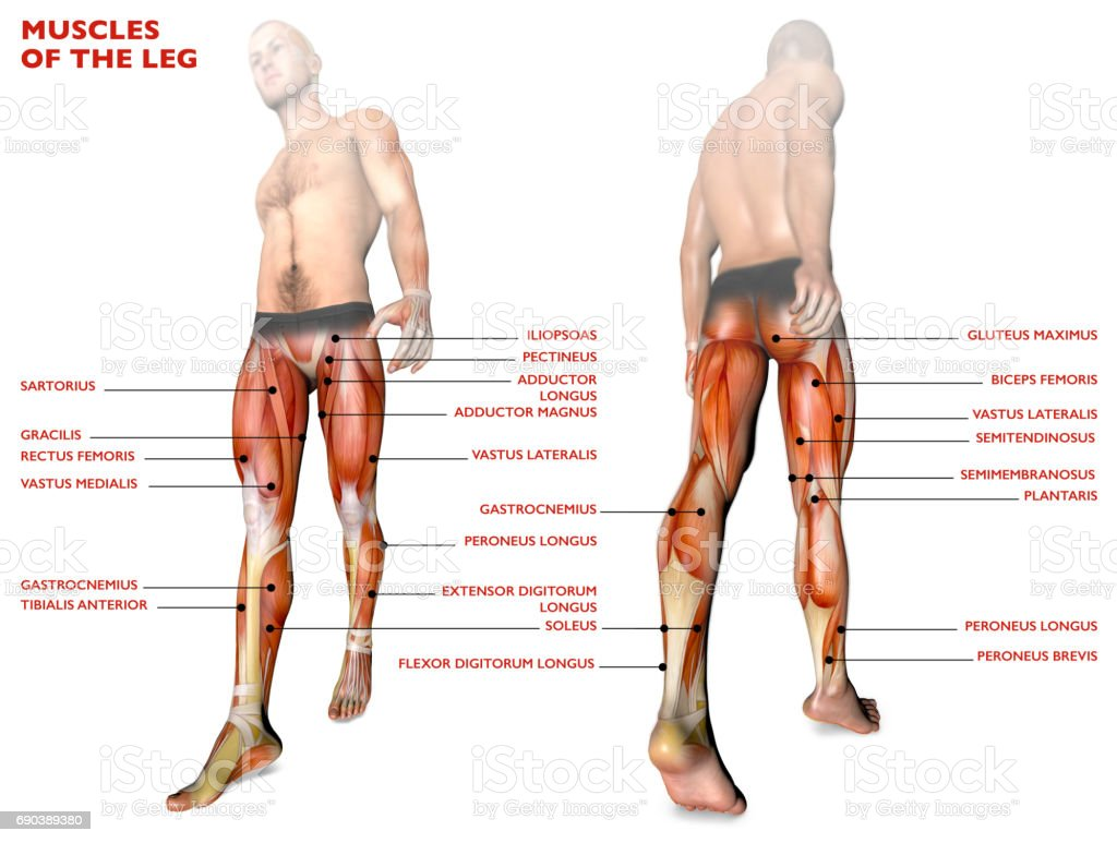 Leg Muscles Human Body Anatomy Muscular System Anatomy Person Stock