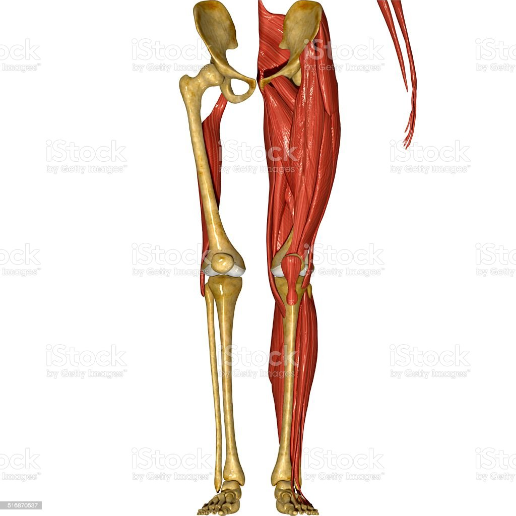 Leg muscles stock photo