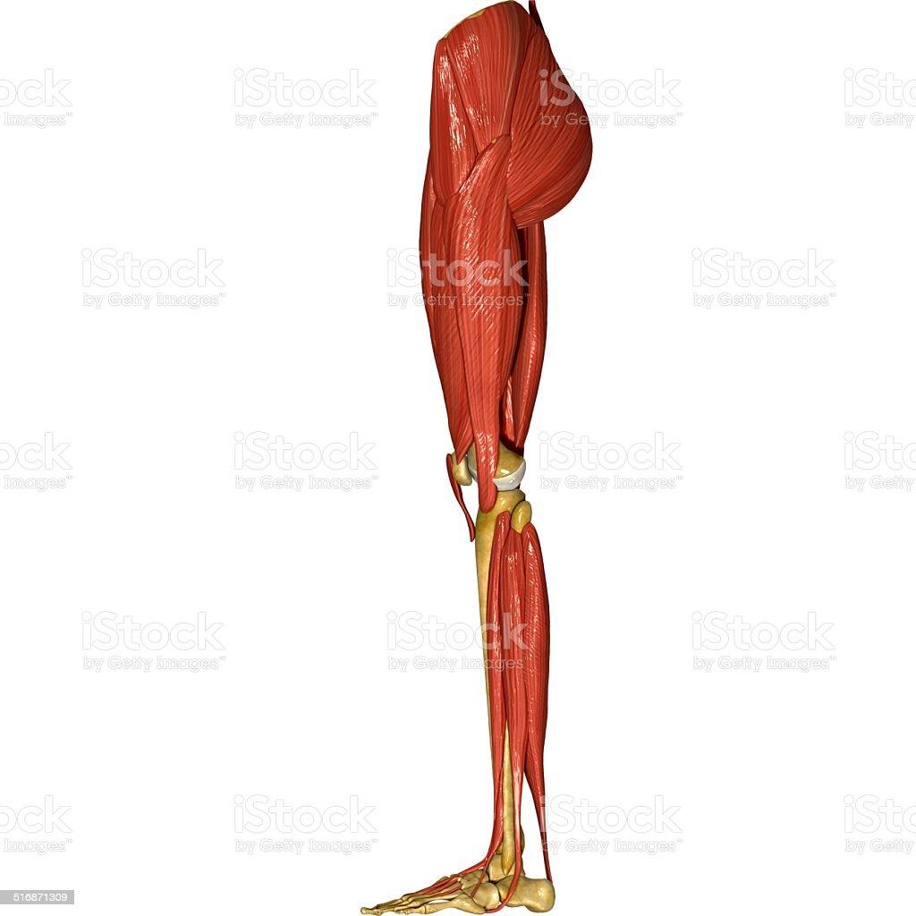 Der Muskeln Bein Stock-Fotografie und mehr Bilder von Anatomie | iStock