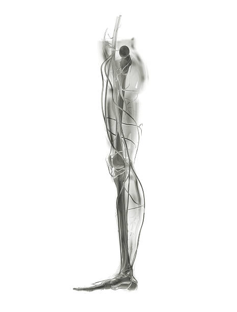 leg x-ray - biomedical illustration stock photos and pictures