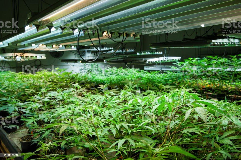Photo libre de droit de Grandir De Cannabis Juridique Série Chambre ...