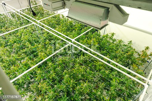 istock Legal Commercial Cannabis Warehouse Top Angle on Bright Green Weed Plant Canopy 1177157871