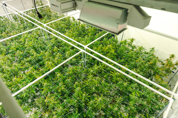 Legal Commercial Cannabis Warehouse Top Angle on Bright Green Weed Plant Canopy stock photo