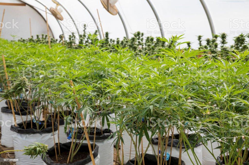 Legal Marijuana Grow Facility in Oregon stock photo