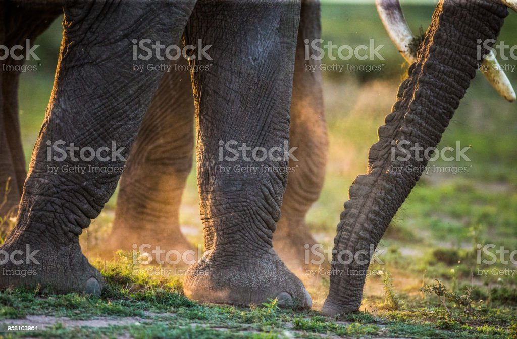 Legs and trunk elephant in dust. stock photo